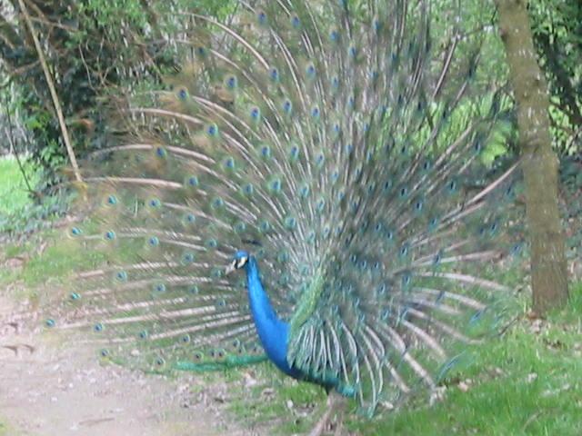 Paon bleu. Parc Ecomusée Petite Couère